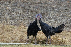 turkey fight