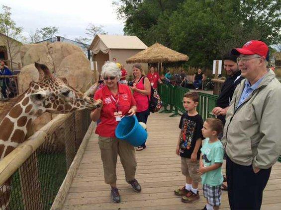 hand feeding giraffe